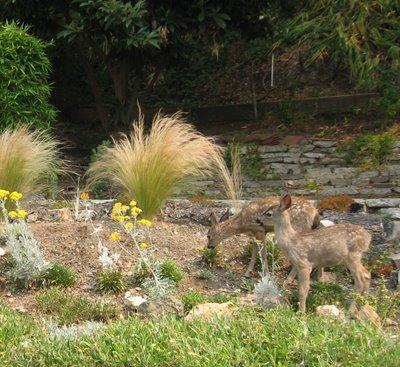 Oakland Berkeley Hills Deer