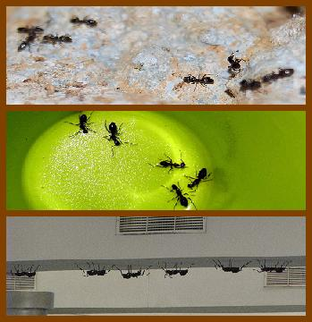 Ant Triptych