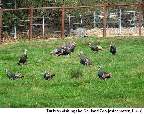 Oakland Turkeys