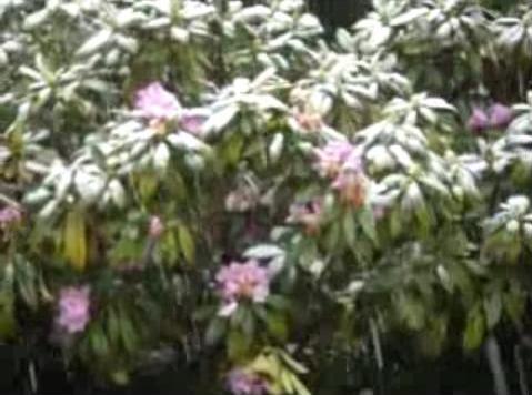 Oakland Hills Snow Bush
