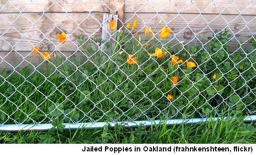 Poppies Oakland
