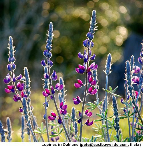 Lupines Oakland