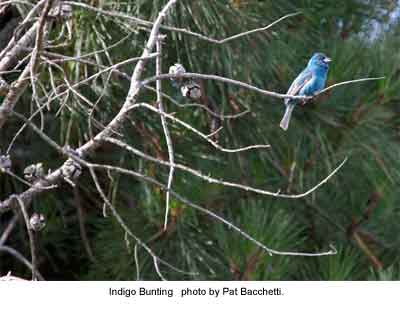 Indigo Bunting (Photo by Pat Bachetti)